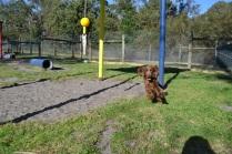 Banksia Park Puppies_Wahinda