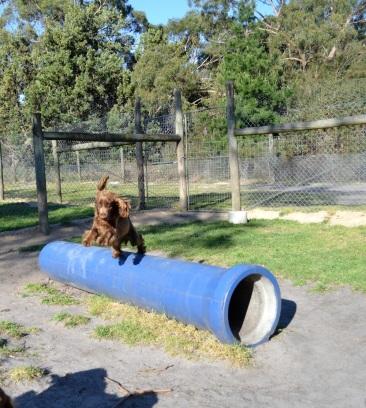 Banksia Park Puppies_Wanika