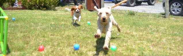 banksia-park-puppies-aino-1-of-23