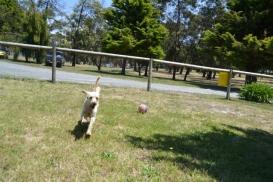 banksia-park-puppies-aino-13-of-23