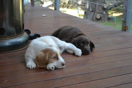 Banksia Park Puppies Bailey Missy