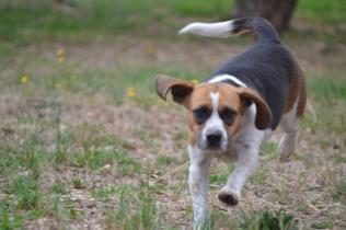 Banksia Park Puppies Bibbity