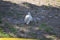 Banksia Park Puppies Floosie