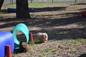 Banksia Park Puppies Fussie