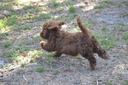 Banksia Park Puppies Foosle