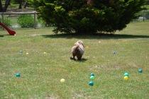 Banksia Park Puppies Foozle