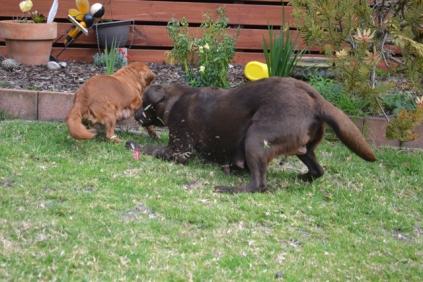 Banksia Park Puppies Hala - 1 of 31