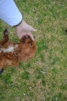 Banksia Park Puppies Hala - 21 of 31
