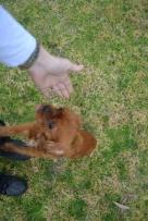 Banksia Park Puppies Hala - 22 of 31
