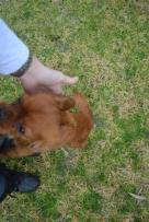 Banksia Park Puppies Hala - 23 of 31