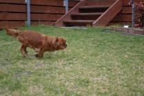 Banksia Park Puppies Hala - 9 of 31