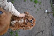 Banksia Park Puppies Harper Sissi - 16 of 16