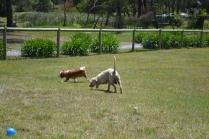banksia-park-puppies-hera-13-of-16