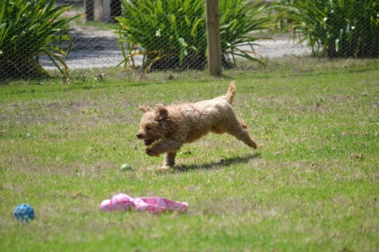 Banksia Park Puppies Kingston