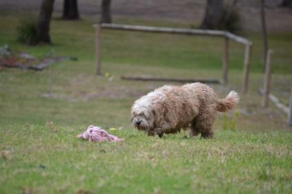 Banksia Park Puppies Marci