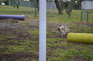 banksia-park-puppies-missy-15-of-40