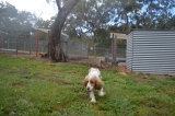 banksia-park-puppies-missy-25-of-40