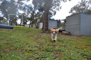 banksia-park-puppies-missy-3-of-40