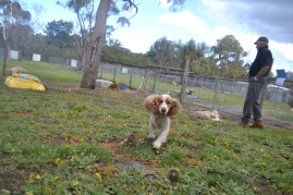 banksia-park-puppies-missy-36-of-40