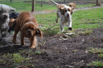 banksia-park-puppies-missy-39-of-40