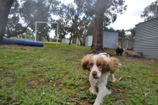banksia-park-puppies-missy-4-of-40