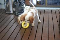 Banksia Park Puppies Missy Sylvie