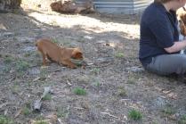 Banksia Park Puppies Rosebud