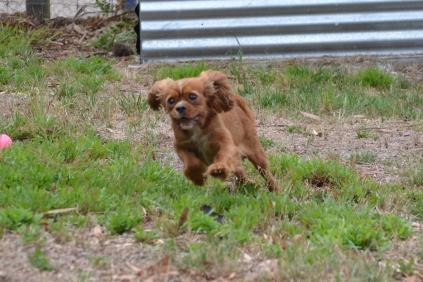 Banksia Park Puppies Sissi