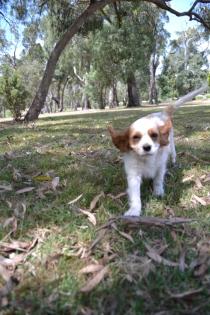 Banksia Park Puppies Starlet