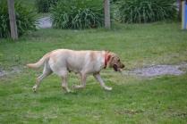 banksia-park-puppies-tim-tam-1-of-16