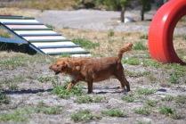 Banksia Park Puppies Willbee - 1 of 54 (1)
