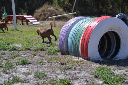 Banksia Park Puppies Willbee - 1 of 54 (10)