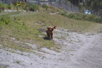Banksia Park Puppies Willbee - 1 of 54 (11)