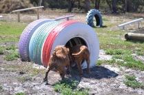 Banksia Park Puppies Willbee - 1 of 54 (12)
