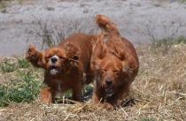 Banksia Park Puppies Willbee - 1 of 54 (22)
