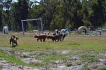 Banksia Park Puppies Willbee - 1 of 54 (23)