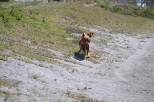 Banksia Park Puppies Willbee - 1 of 54 (25)