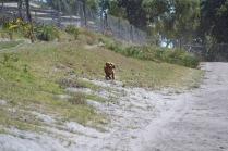 Banksia Park Puppies Willbee - 1 of 54 (26)