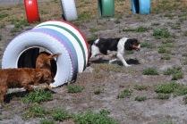 Banksia Park Puppies Willbee - 1 of 54 (27)