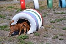 Banksia Park Puppies Willbee - 1 of 54 (29)
