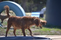 Banksia Park Puppies Willbee - 1 of 54 (31)
