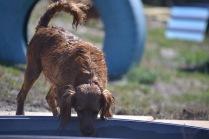 Banksia Park Puppies Willbee - 1 of 54 (34)