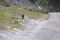 Banksia Park Puppies Willbee - 1 of 54 (40)