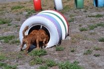Banksia Park Puppies Willbee - 1 of 54 (41)