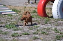 Banksia Park Puppies Willbee - 1 of 54 (42)