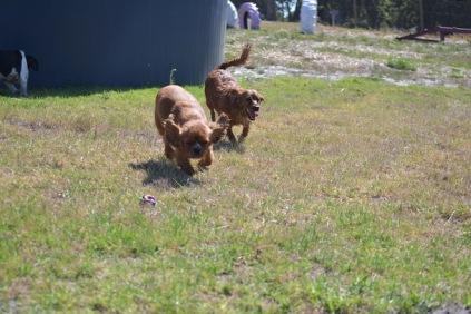 Banksia Park Puppies Willbee - 1 of 54 (43)