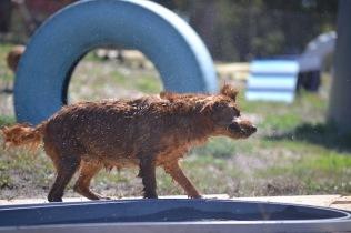 Banksia Park Puppies Willbee - 1 of 54 (46)