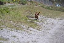 Banksia Park Puppies Willbee - 1 of 54 (53)