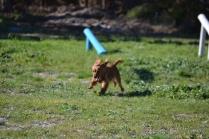 Banksia Park Puppies Willbee - 11 of 29