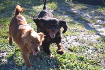 Banksia Park Puppies Willbee - 16 of 29